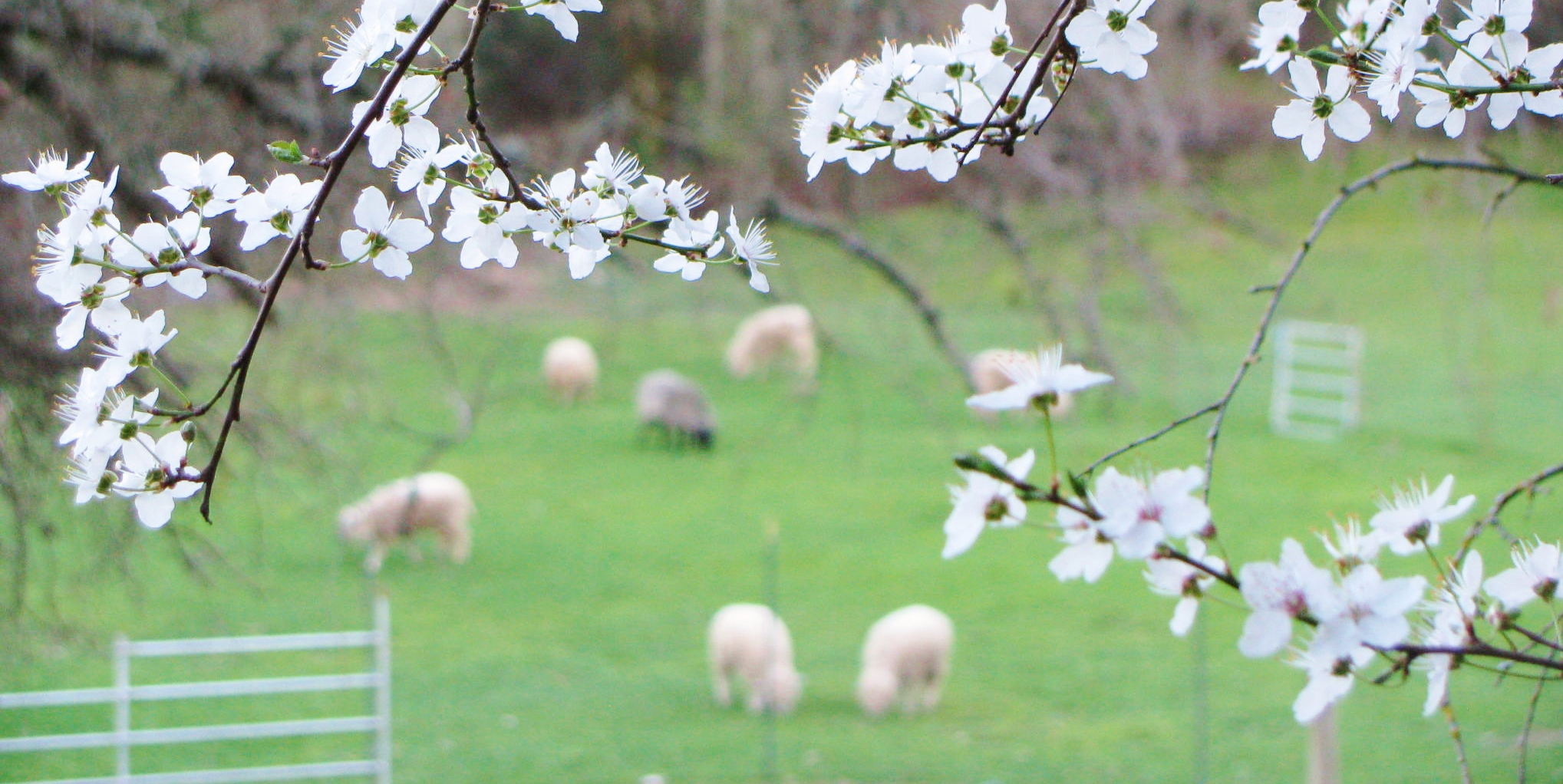 blossoms and sheep