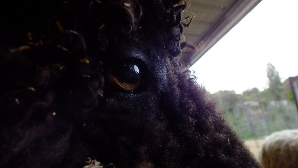 black sheeps eye