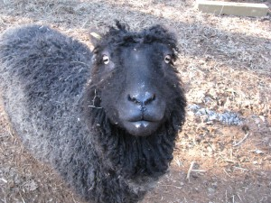 Pretty gray sheep